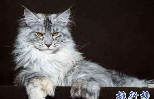 欧洲短毛猫 最适合家养的猫排名,英国短毛猫第一