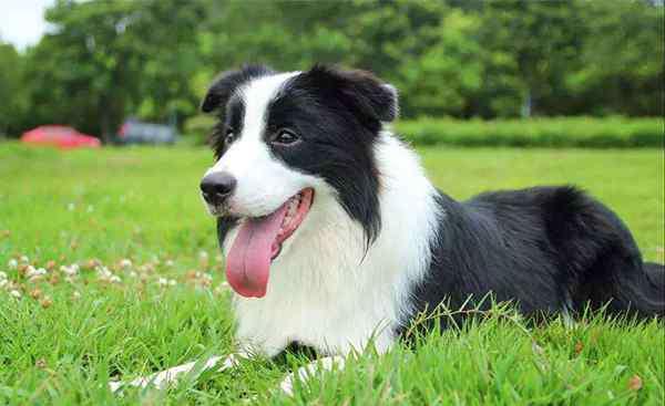 拉布拉多贵宾犬 十大聪明犬排名:金毛、杜宾上榜,贵宾犬能排第二
