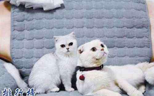 抖音安生的爸爸 抖音十大网红猫,第一简直成精了