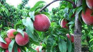 水蜜桃的营养价值 血桃的营养价值