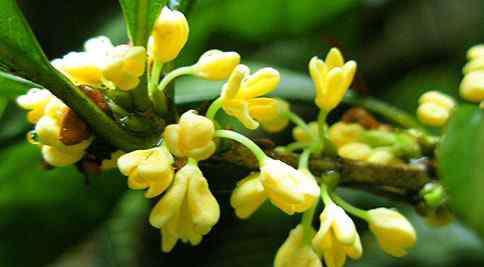 桂花作用 桂花的功效和作用