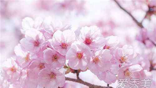 鸡鸣寺樱花开放时间 樱花什么时候开花 中国樱花开花时间