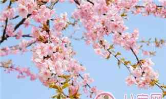 樱花的样子描写 樱花盛开的心情说说图片 描写樱花盛开的句子诗句