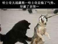 马犬是什么狗 狗王有什么特点,大家讨论一下狗王是什么概念