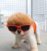 美国比特犬 美国比特犬是什么血统,嗜血猛犬并非比特犬而是它