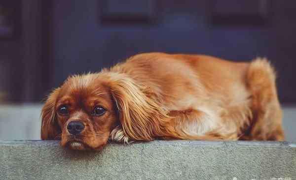 狗狗吐黄水怎么回事 狗狗吐黄水有哪些原因?狗狗吐黄水治疗方法