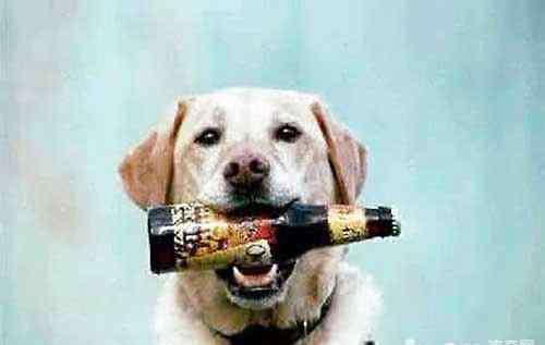 喝啤酒的坏处 狗狗喝啤酒,狗狗喝啤酒会造成什么后果?