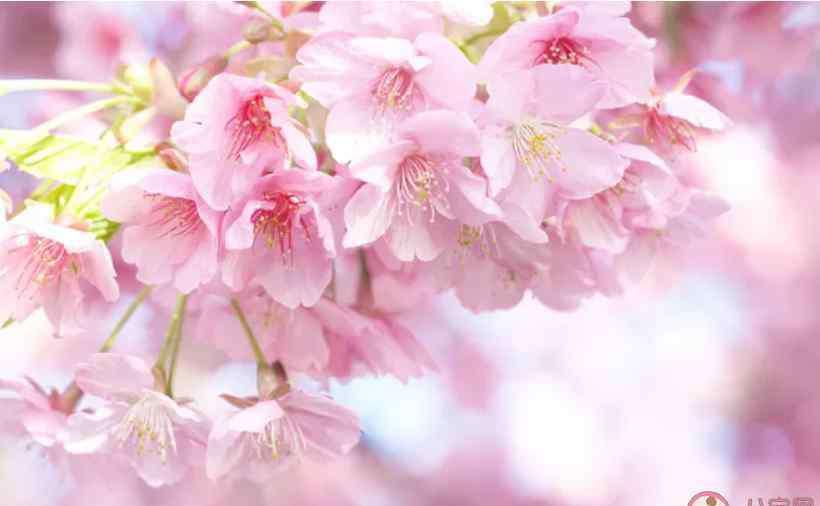 关于樱花的唯美诗句 2020樱花盛开的心情说说句子 描写樱花盛开的唯美句子带图说说