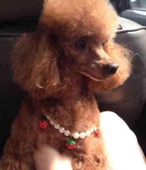贵宾犬和泰迪的区别 泰迪和贵宾有什么不同?