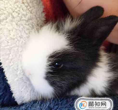 养宠物兔 怎样养宠物兔?宠物兔能活多久?