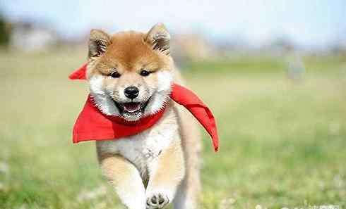 豆柴犬价格 豆柴犬多少钱一只 豆柴犬和柴犬的区别