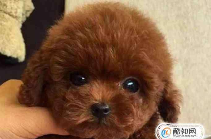 泰迪犬怎么养 泰迪犬怎么养才听话