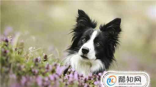 牧羊犬种类 边境牧羊犬的种类