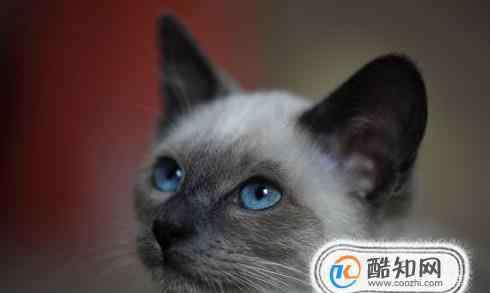 泰国暹罗猫 暹罗猫为什么那么便宜
