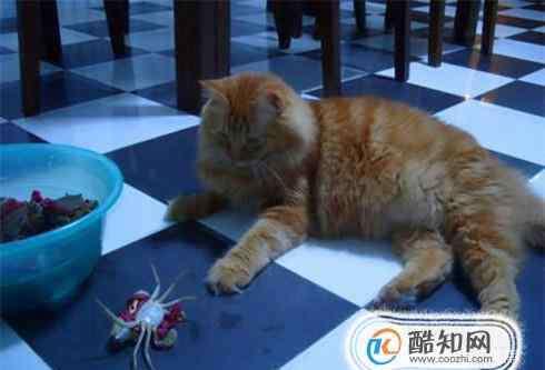吃螃蟹过敏紧急处理 猫吃了螃蟹壳怎么处理