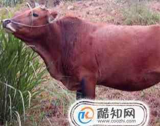 牛的品种 中国有哪些牛品种