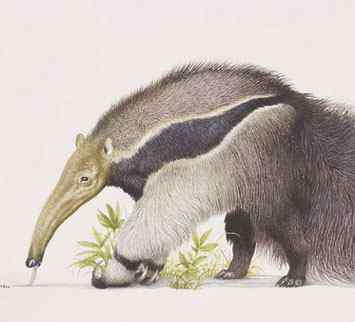 大食蚁兽 世界上最大的食蚁兽是什么?