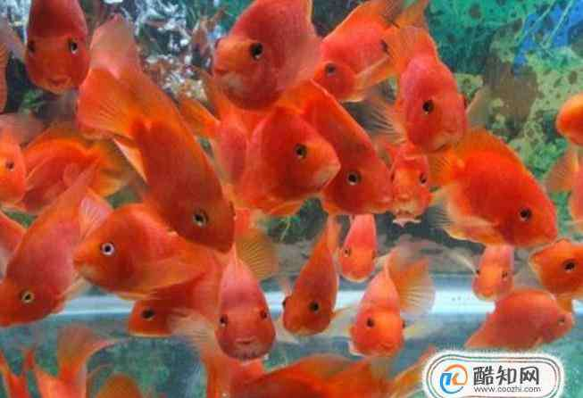 血鹦鹉怎么养 红鹦鹉鱼怎么养
