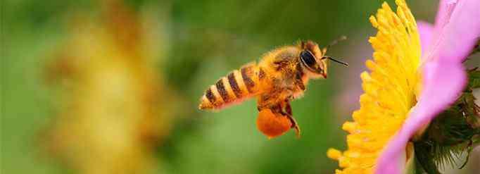 蜜蜂采蜜 蜜蜂为什么要采蜜?