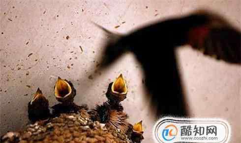 家燕 怎样吸引家燕筑巢