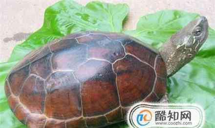 长寿龟 长寿龟的饲养方法