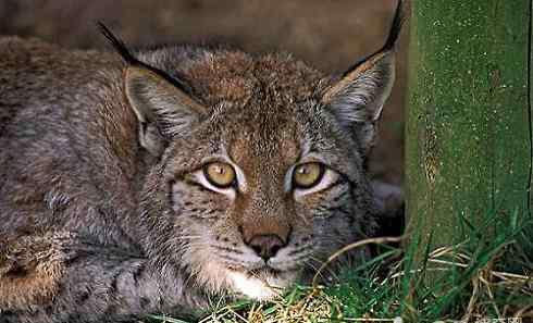 名猫 世界十大禁养名猫 你见过几种呢