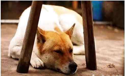 中华田园犬为什么禁养 中华田园犬为什么禁养?中华田园犬禁养原因