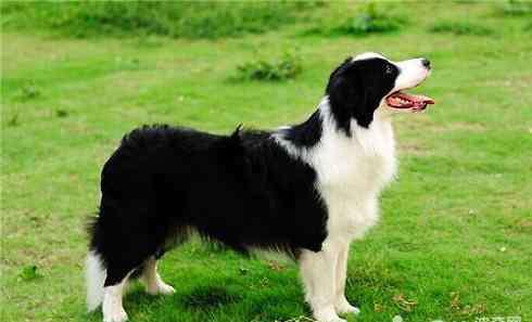 狗智商排名前100名 狗智商排名,智商前五的狗狗有哪些?