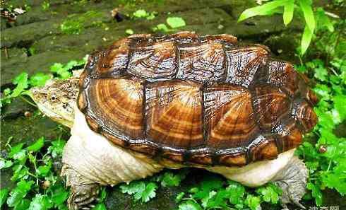 大鳄龟寿命 大鳄龟寿命有多长?大鳄龟怎么养?