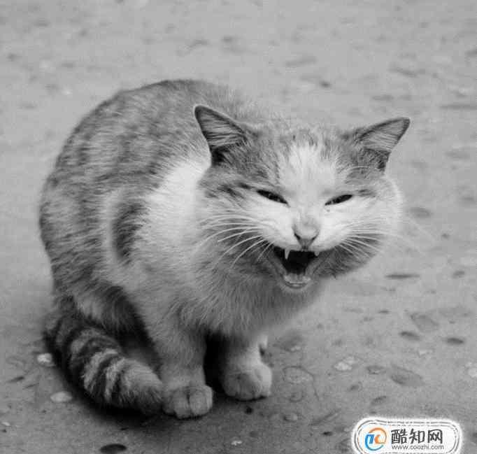 猫的叫声 怎么理解猫咪的叫声和动作