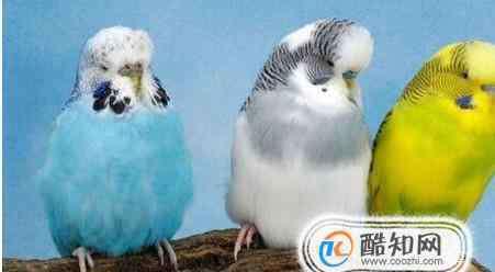 虎皮鹦鹉什么时候下蛋 虎皮鹦鹉什么时候下蛋?如何促进它们繁殖?