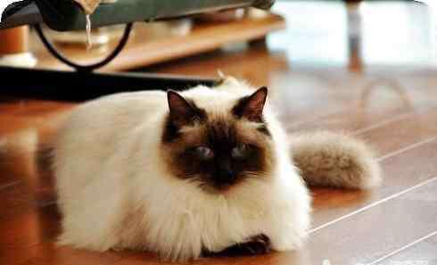布偶重点色 布偶猫重点色好吗?布偶猫重点色详细介绍?