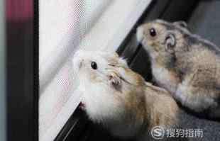 仓鼠怎么分辨公母 仓鼠怎样分辨公母?