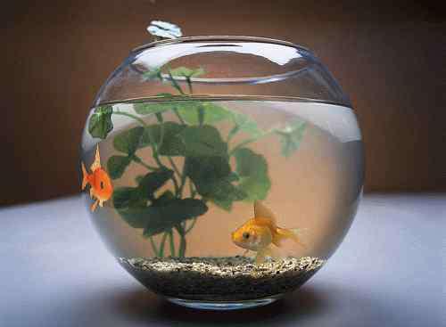 鱼为什么睁着眼睛睡觉 金鱼为什么睁着眼睛睡觉?