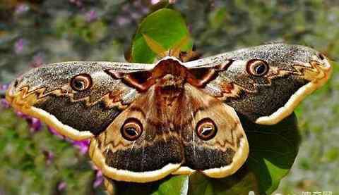 飞蛾吃什么 飞蛾吃什么?飞蛾以什么为食?
