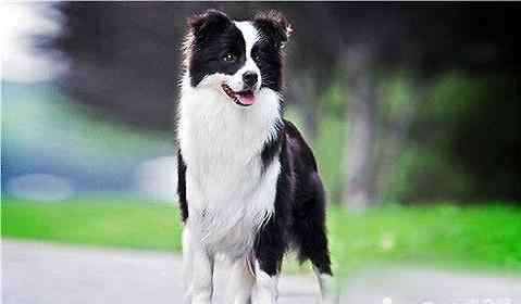脚软没力气是什么原因引起的 狗狗走路感觉没有力气是什么原因?