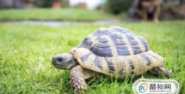 乌龟不吃东西 乌龟冬眠要放水吗?乌龟冬眠后不吃东西怎么办