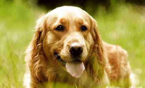 金毛犬有几种 金毛有几个色系?金毛哪个色系最贵?