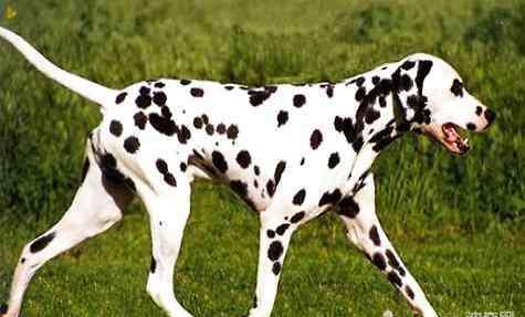斑点狗多少钱 斑点狗价格多少?斑点狗价格
