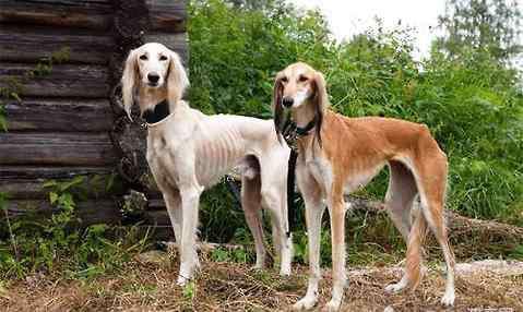 萨路基犬 萨路基猎犬价格多少?萨路基猎犬怎么养?