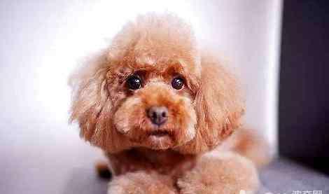 泰迪生长变化图 泰迪犬怎么长得越来越丑了?