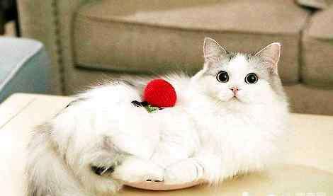 蓝色的猫 你见过蓝色的布偶猫吗?