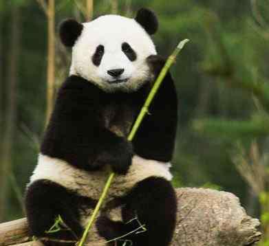 熊猫是几级保护动物 熊猫是几级保护动物?