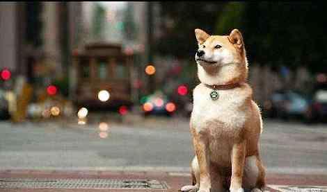 会笑的狗 为什么我家的柴犬不会笑?