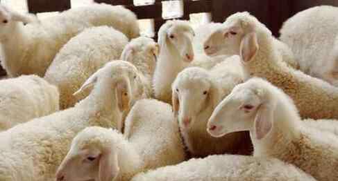 怎么养羊 如何养羊 养羊的方法