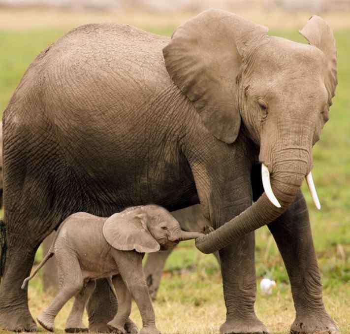 大象怀孕多久生产 大象怀孕多久生产