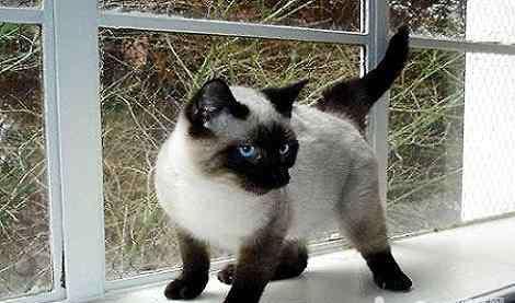暹罗猫为什么越来越黑 天气越冷为什么暹罗猫的脸越黑?