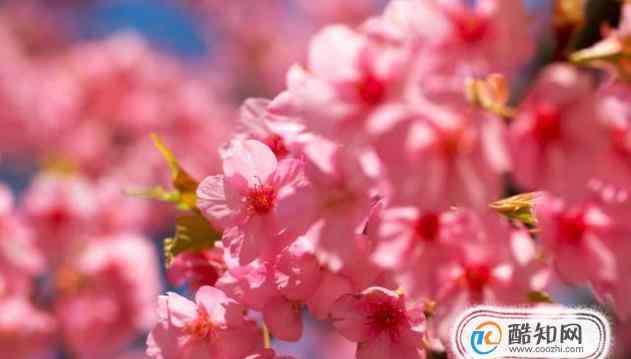 樱花的颜色 樱花有哪些品种和颜色