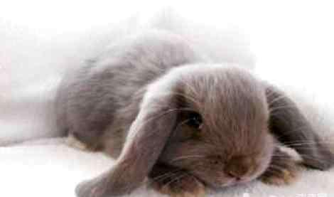 迷你垂耳兔 迷你垂耳兔日常要怎么喂养?