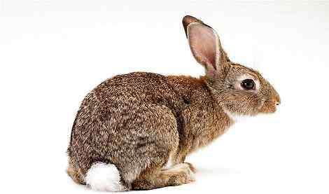 兔子的尾巴 兔子的尾巴有多长,你知道吗?